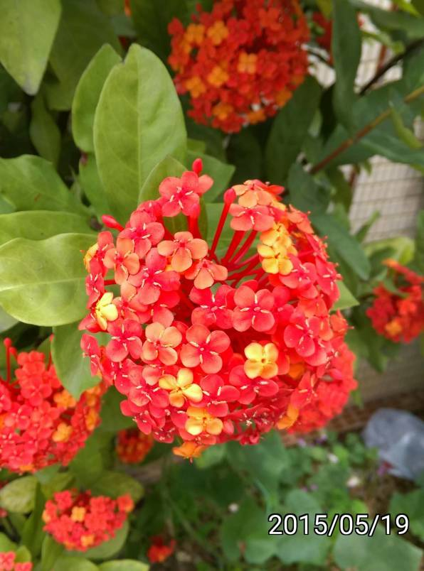 圓瓣仙丹花、Ixora chinensis, West Indian Jasmine